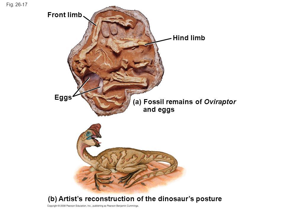 Fig. 26-17 Eggs Front limb Hind limb (a) Fossil remains of Oviraptor and eggs (b) Artist's reconstruction of the dinosaur's posture