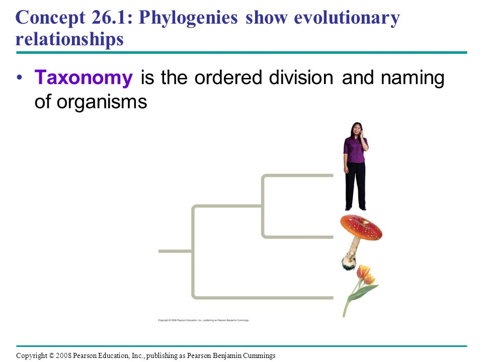 Copyright © 2008 Pearson Education, Inc., publishing as Pearson Benjamin Cummings Concept 26.1: Phylogenies show evolutionary relationships Taxonomy i