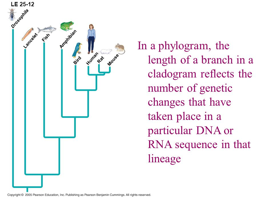 LE 25-12 Drosophila Lancelet Fish Amphibian Bird Human Rat Mouse In a phylogram, the length of a branch in a cladogram reflects the number of genetic