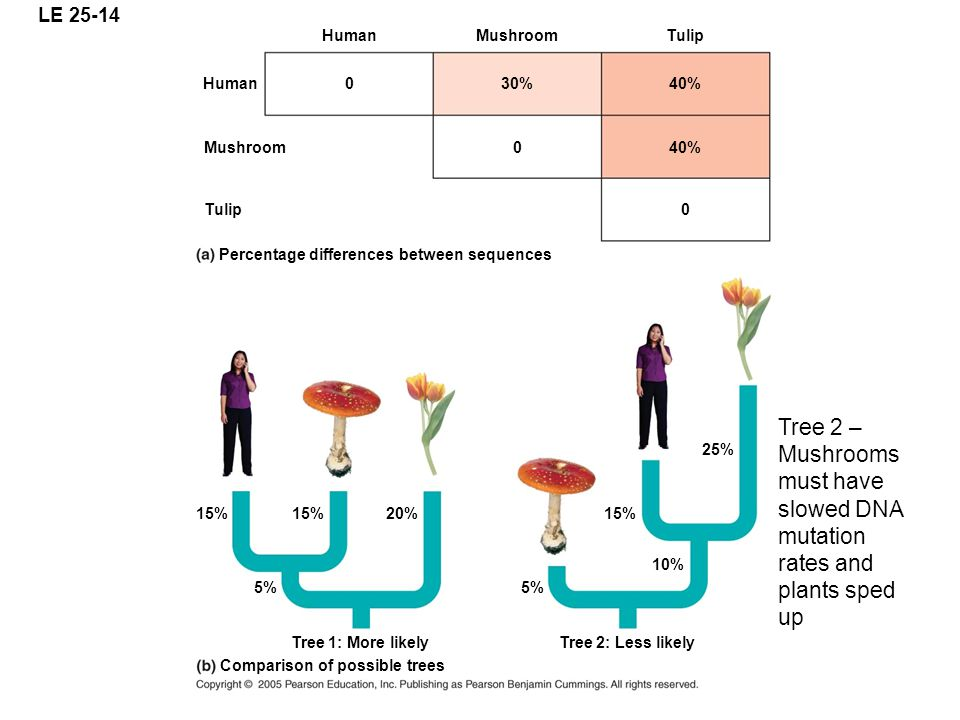 LE 25-14 Human 0 Mushroom 30% 0 Tulip 40% Human Mushroom 0Tulip Percentage differences between sequences Comparison of possible trees 15% 20% 5% 10% 1