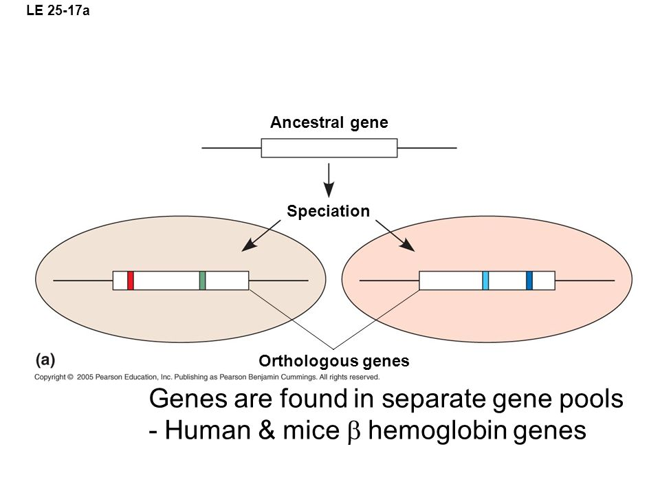 LE 25-17a Ancestral gene Speciation Orthologous genes Genes are found in separate gene pools - Human & mice  hemoglobin genes