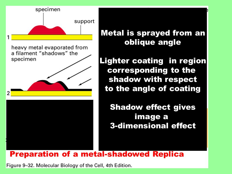 Preparation of a metal-shadowed Replica Note that the thickness of the metal reflects the surface contours of the original specimen Metal is sprayed from an oblique angle Lighter coating in region corresponding to the shadow with respect to the angle of coating Shadow effect gives image a 3-dimensional effect