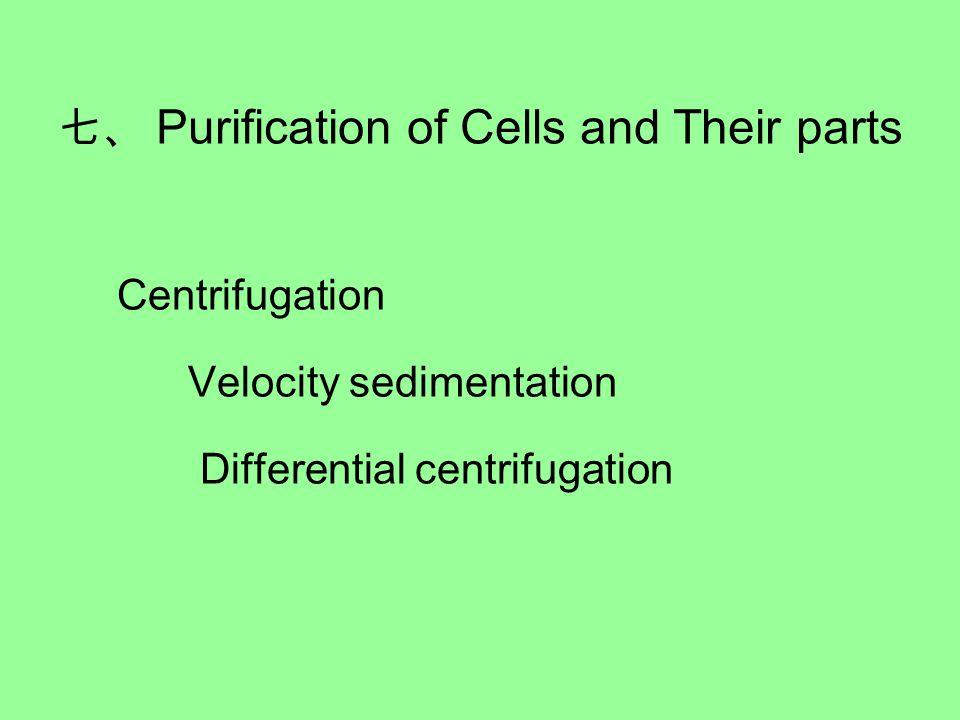 七、 Purification of Cells and Their parts Centrifugation Velocity sedimentation Differential centrifugation