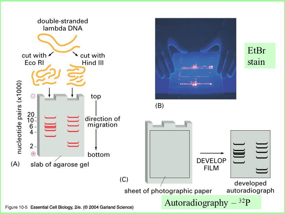 10_05_gel.electrophor.jpg EtBr stain Autoradiography – 32 P