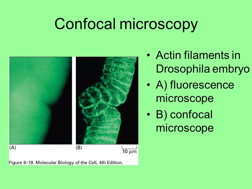 Actin filaments in Drosophila embryo A) fluorescence microscope B) confocal microscope