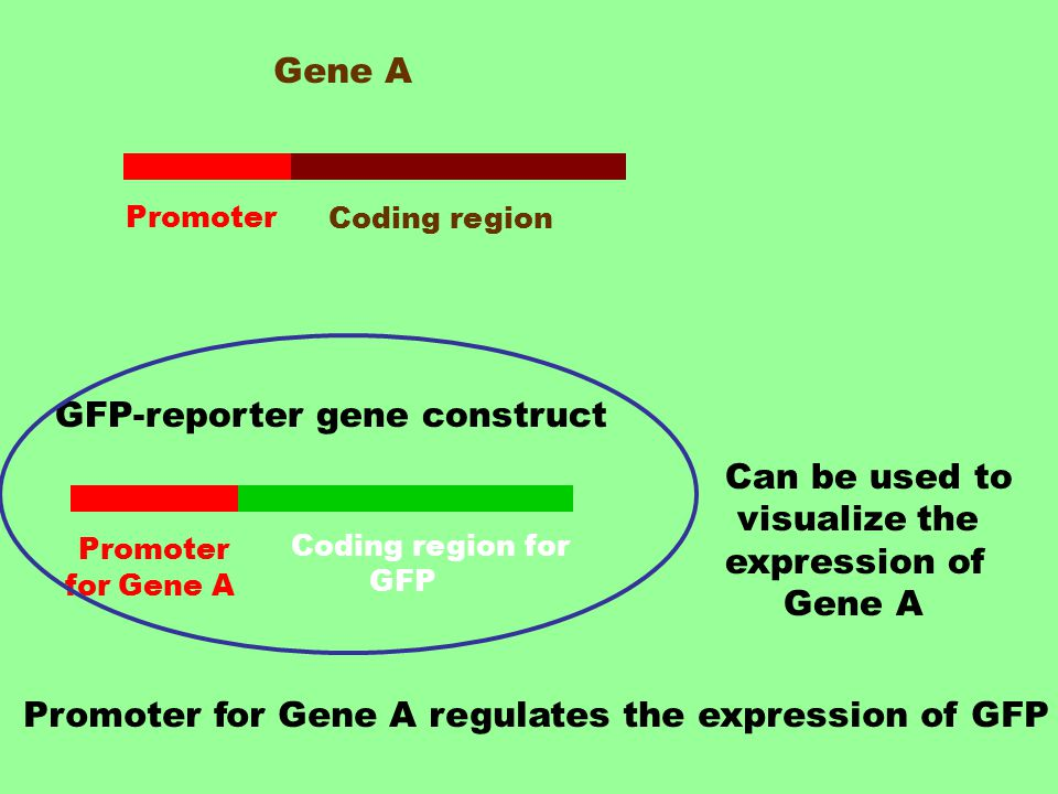 Gene A Promoter Coding region GFP-reporter gene construct Promoter for Gene A Coding region for GFP Can be used to visualize the expression of Gene A Promoter for Gene A regulates the expression of GFP