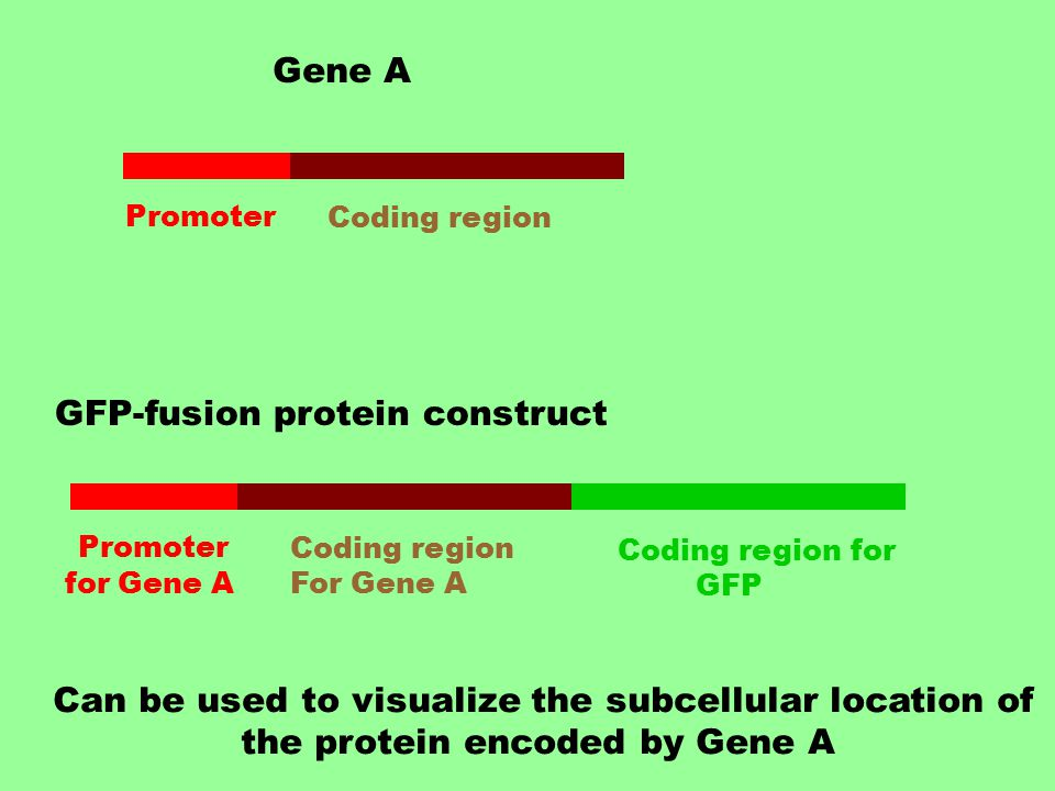 Gene A Promoter Coding region GFP-fusion protein construct Promoter for Gene A Coding region for GFP Coding region For Gene A Can be used to visualize the subcellular location of the protein encoded by Gene A