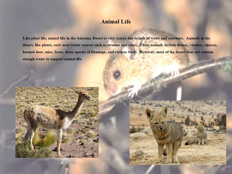 Animal Life Like plant life, animal life in the Atacama Desert is very scarce due to lack of water and nutrients.