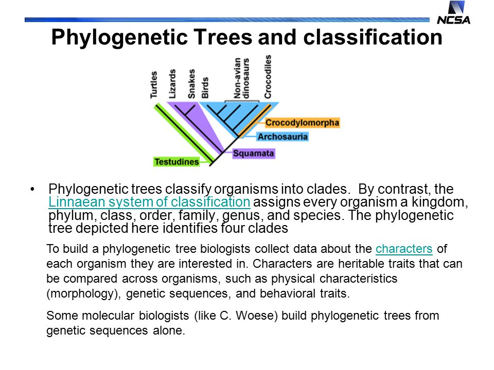Phylogenetic Trees and classification Phylogenetic trees classify organisms into clades.
