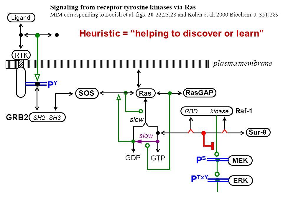 plasma membrane PYPY GRB2 SH2 SH3 SOS Ras slow GDP GTP slow RasGAP RBD kinase Raf-1 Sur-8 Signaling from receptor tyrosine kinases via Ras MIM corresponding to Lodish et al.