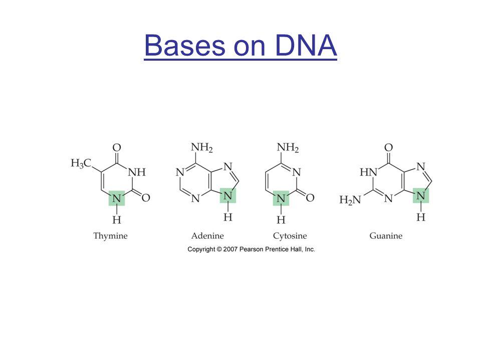 Bases on DNA
