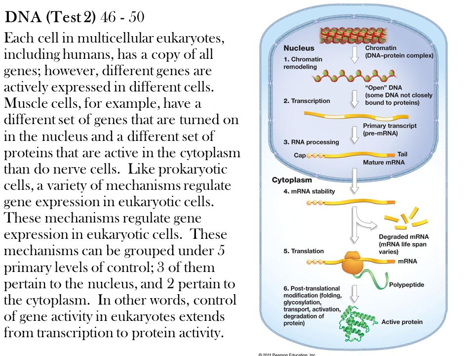 Each cell in multicellular eukaryotes, including humans, has a copy of all genes; however, different genes are actively expressed in different cells.
