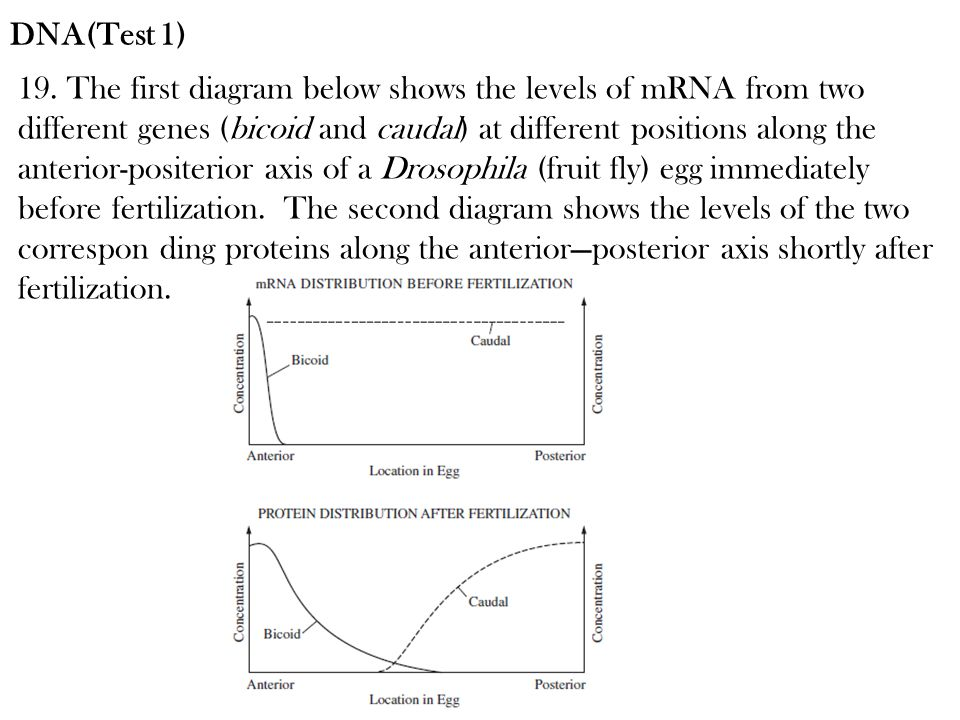 19. The first diagram below shows the levels of mRNA from two different genes (bicoid and caudal) at different positions along the anterior-positerior