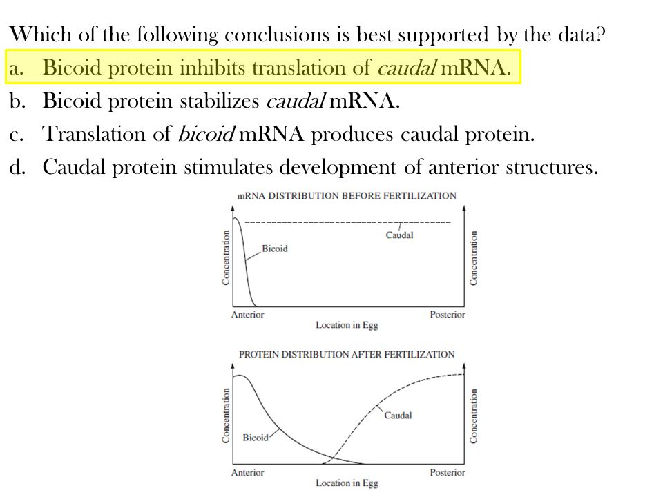 Which of the following conclusions is best supported by the data? a.Bicoid protein inhibits translation of caudal mRNA. b.Bicoid protein stabilizes ca