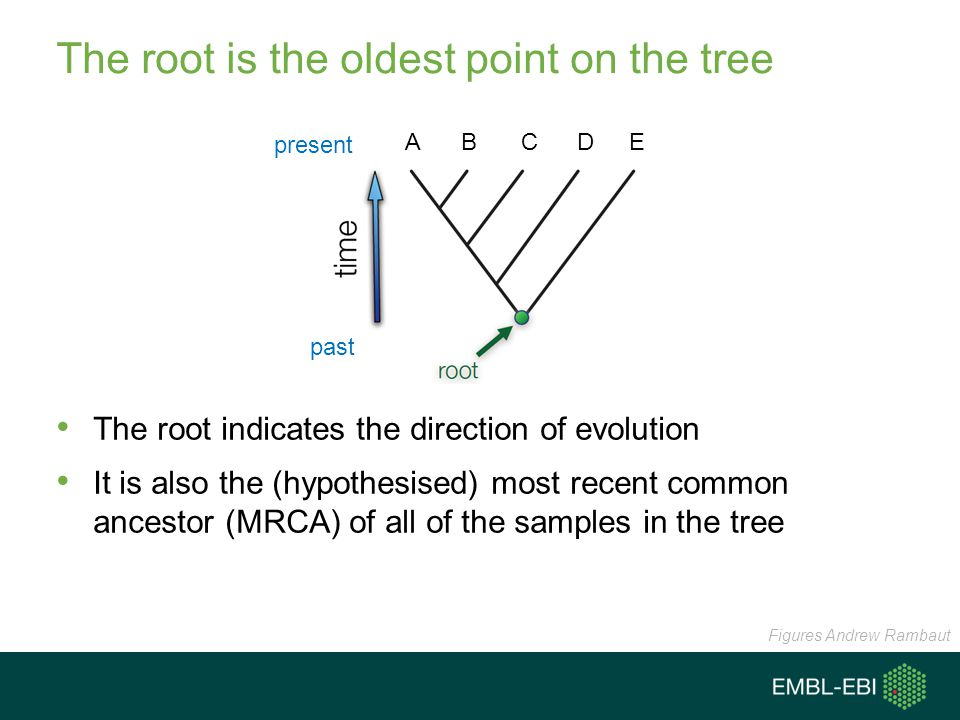 The root is the oldest point on the tree The root indicates the direction of evolution It is also the (hypothesised) most recent common ancestor (MRCA