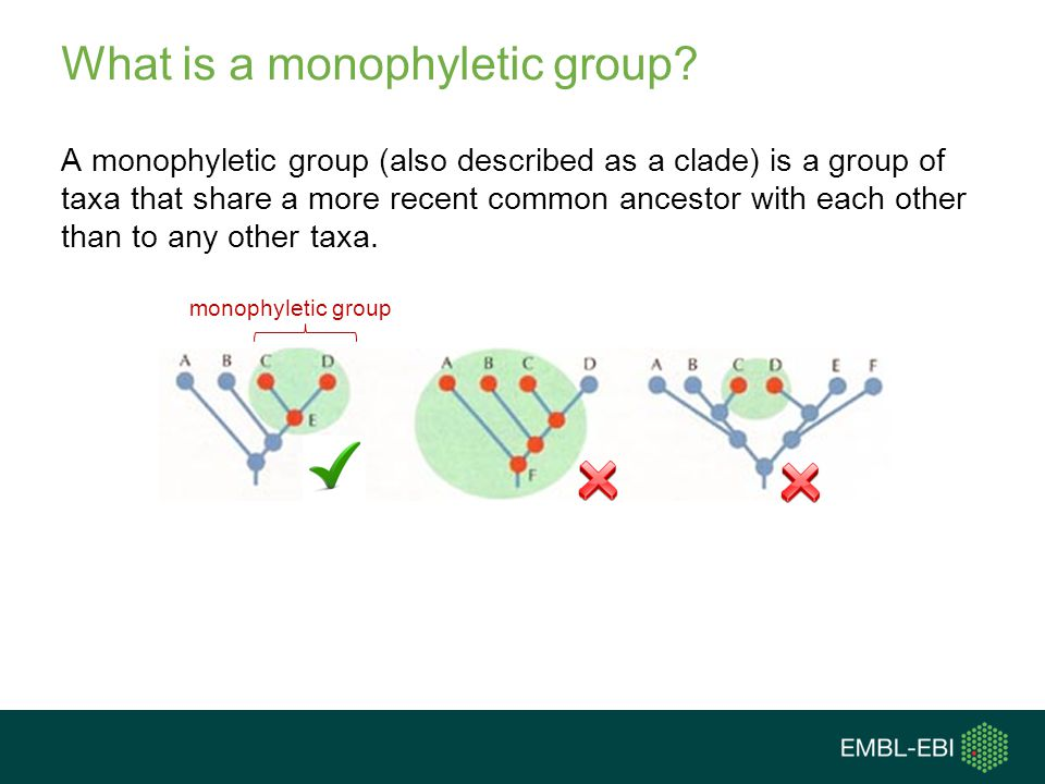 What is a monophyletic group? A monophyletic group (also described as a clade) is a group of taxa that share a more recent common ancestor with each o