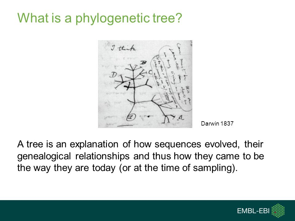 Distance and substitution rate are confounded Branch lengths indicate the genetic change that has occurred We often don't know if long branch lengths reflect: A rapid evolutionary rate An ancient divergence time A combination of both Genetic change = Evolutionary rate x Divergence time (substitutions/site) (substitutions/site/year) (years) C D EAB