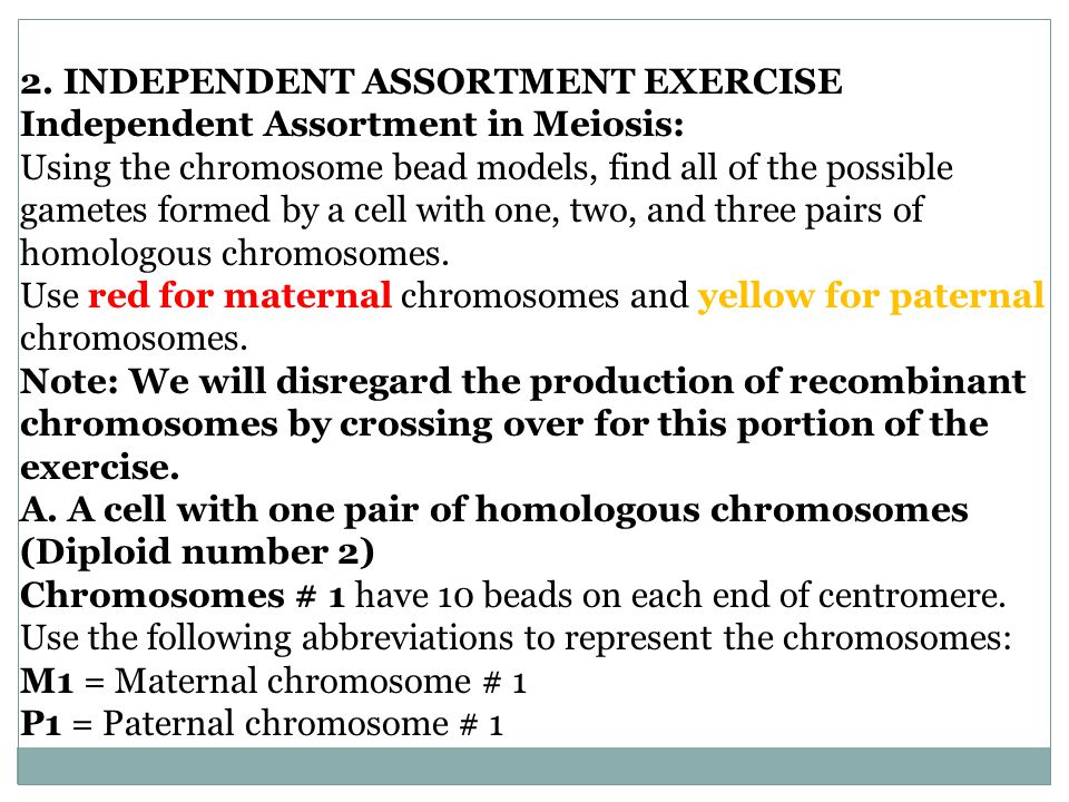 Independent assortment in a cell w/ two pairs of homologous chromosomes (n= 2) MEIOSIS Possible chromosome combinations: 2 n : 2 2 = 4