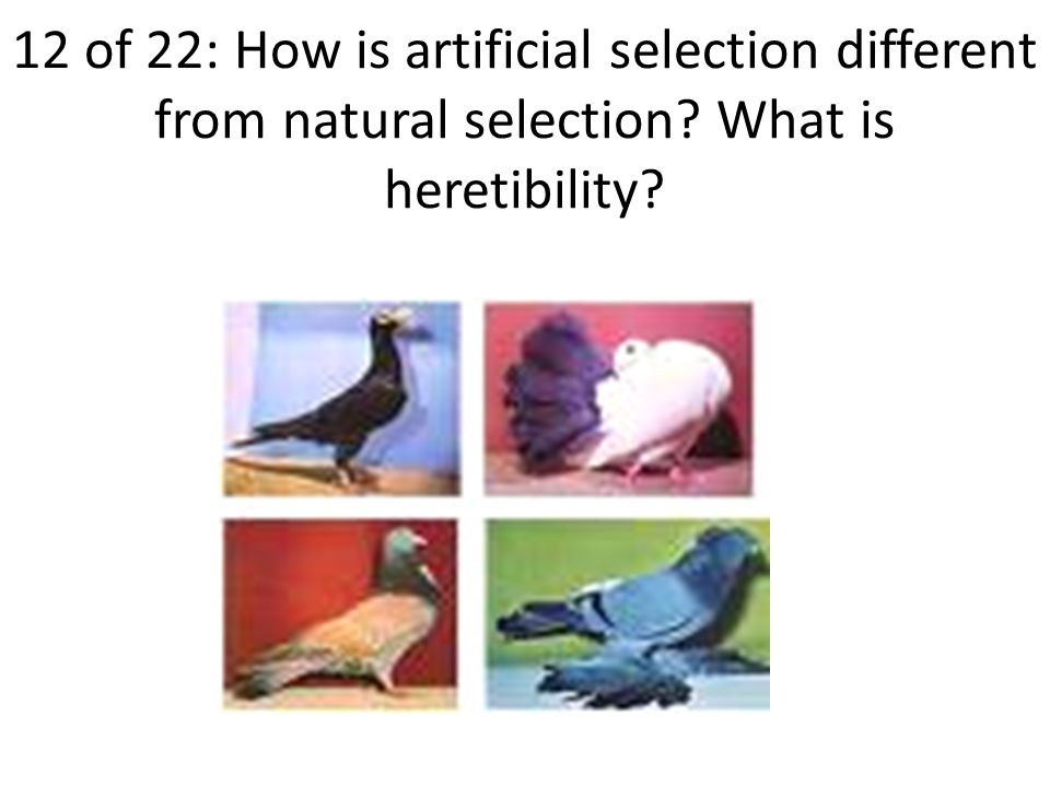 12 of 22: How is artificial selection different from natural selection What is heretibility