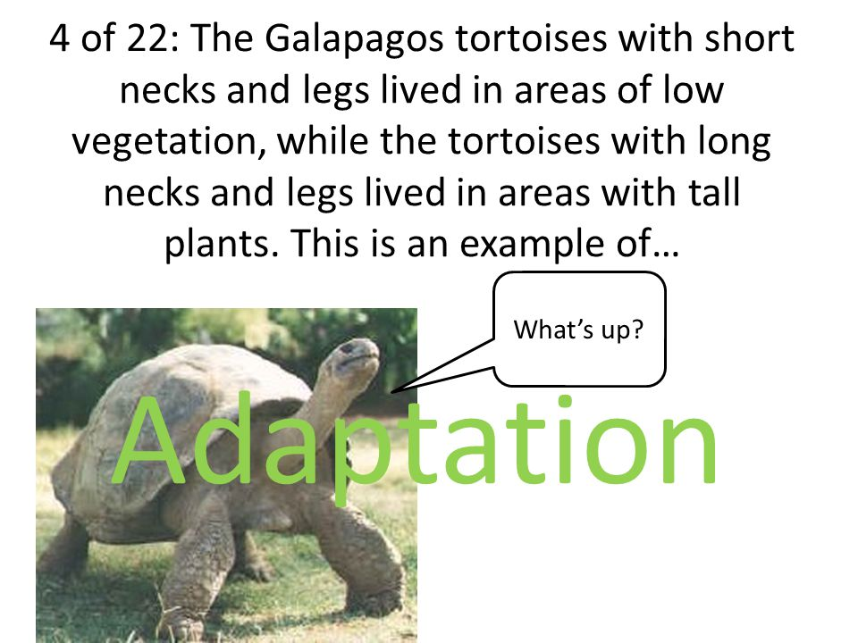 4 of 22: The Galapagos tortoises with short necks and legs lived in areas of low vegetation, while the tortoises with long necks and legs lived in areas with tall plants.
