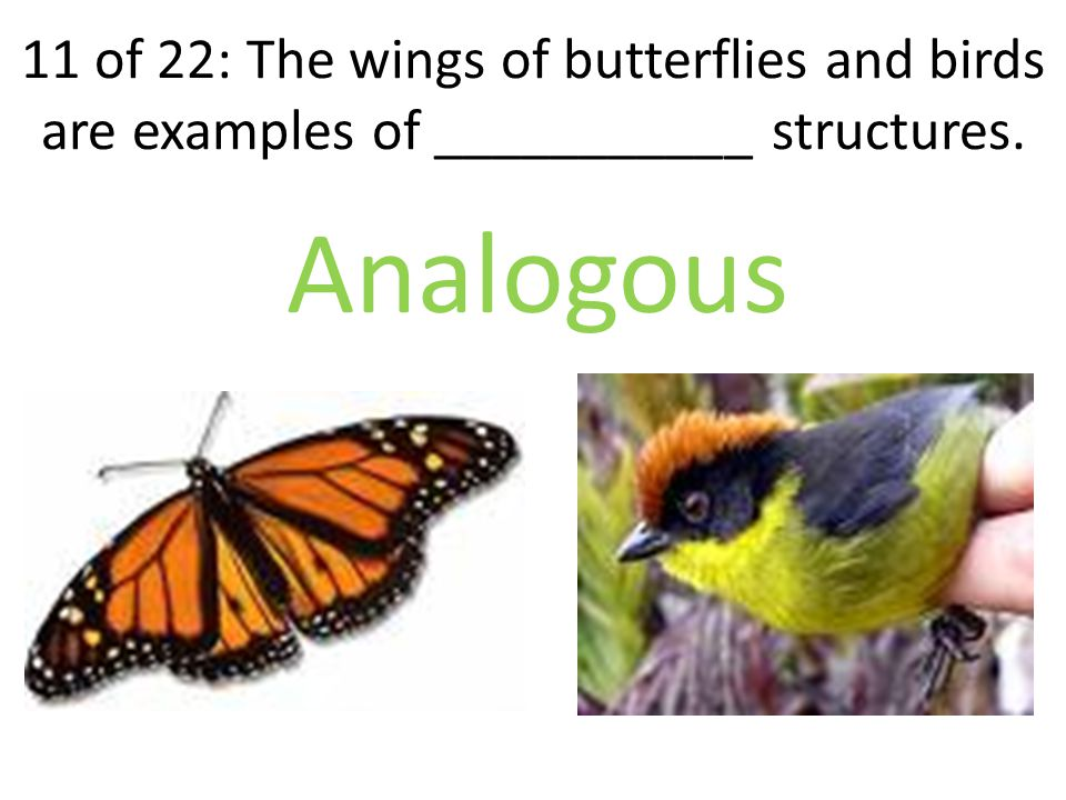 11 of 22: The wings of butterflies and birds are examples of ___________ structures. Analogous