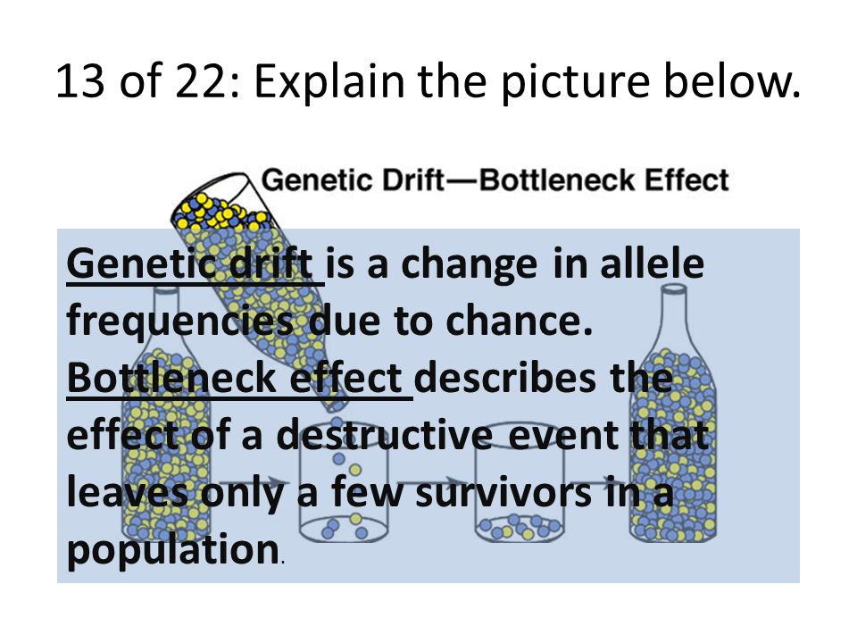 13 of 22: Explain the picture below. Genetic drift is a change in allele frequencies due to chance.