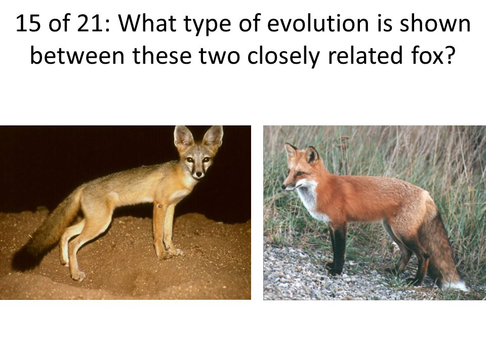 15 of 21: What type of evolution is shown between these two closely related fox
