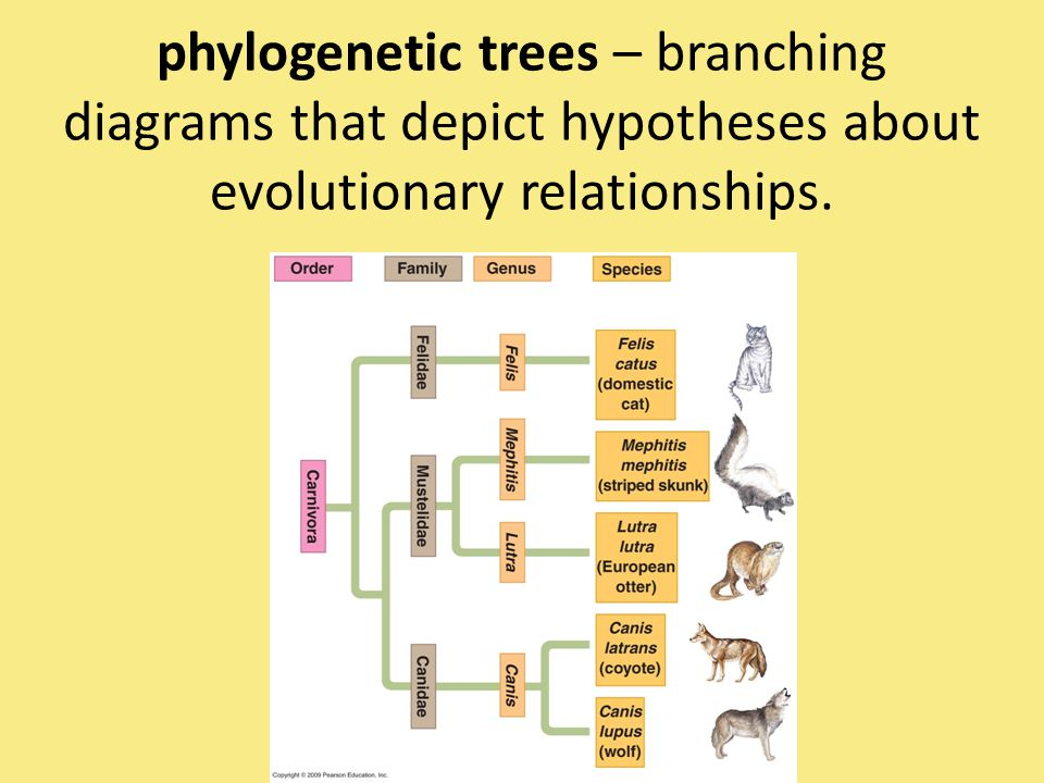 phylogenetic trees – branching diagrams that depict hypotheses about evolutionary relationships.