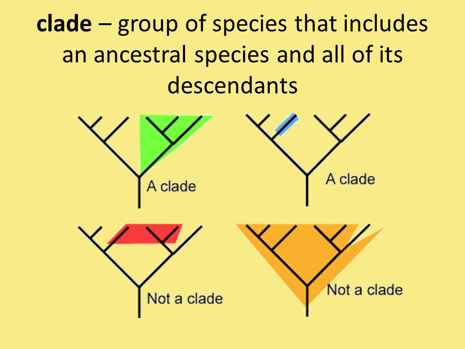 clade – group of species that includes an ancestral species and all of its descendants
