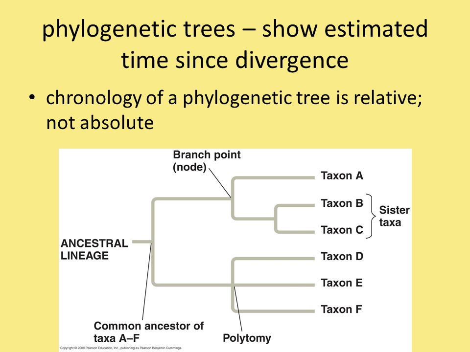 phylogenetic trees – show estimated time since divergence chronology of a phylogenetic tree is relative; not absolute
