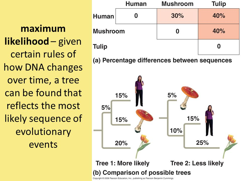 maximum likelihood – given certain rules of how DNA changes over time, a tree can be found that reflects the most likely sequence of evolutionary even