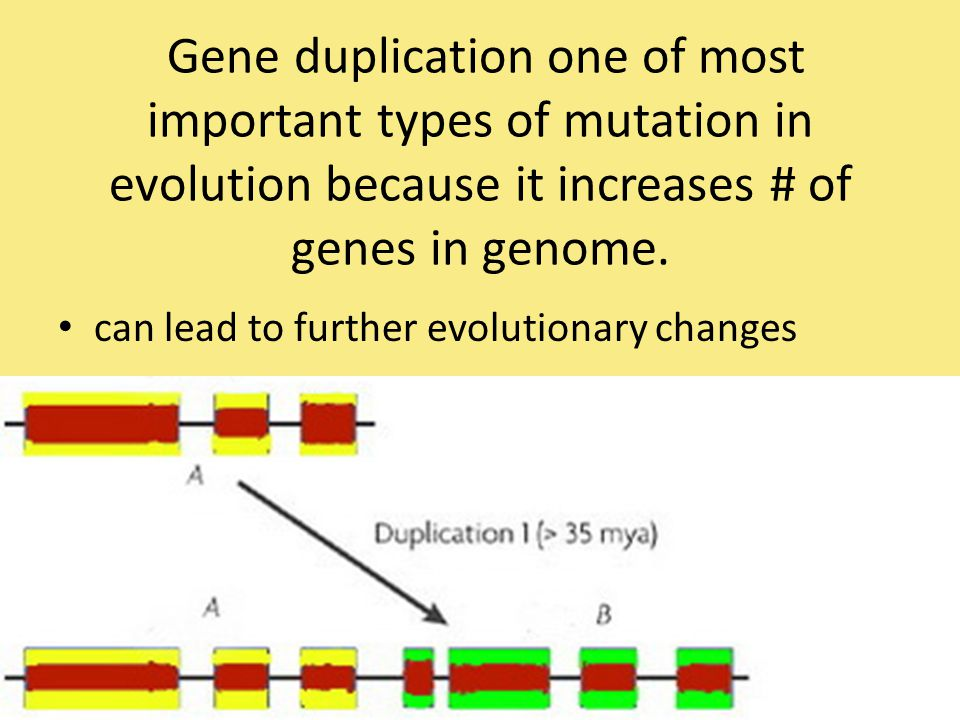 can lead to further evolutionary changes Gene duplication one of most important types of mutation in evolution because it increases # of genes in geno