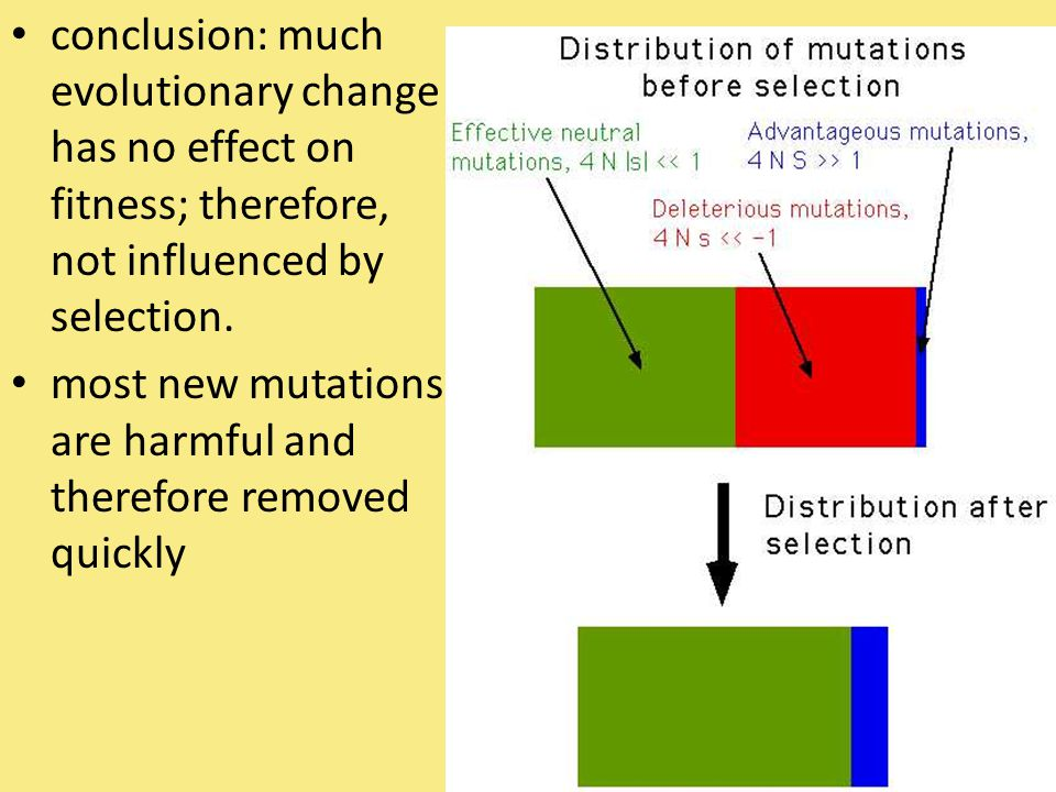 conclusion: much evolutionary change has no effect on fitness; therefore, not influenced by selection. most new mutations are harmful and therefore re