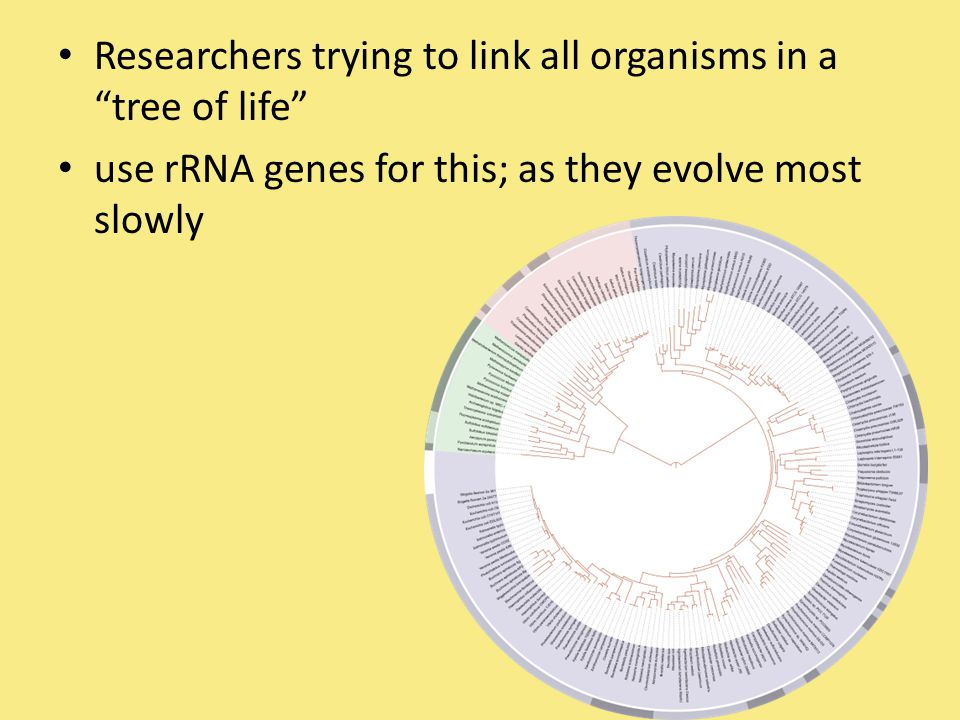 "Researchers trying to link all organisms in a ""tree of life"" use rRNA genes for this; as they evolve most slowly"