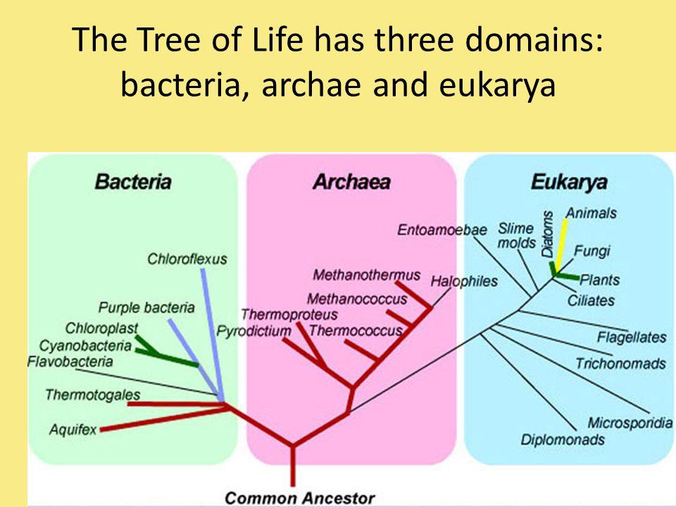 The Tree of Life has three domains: bacteria, archae and eukarya