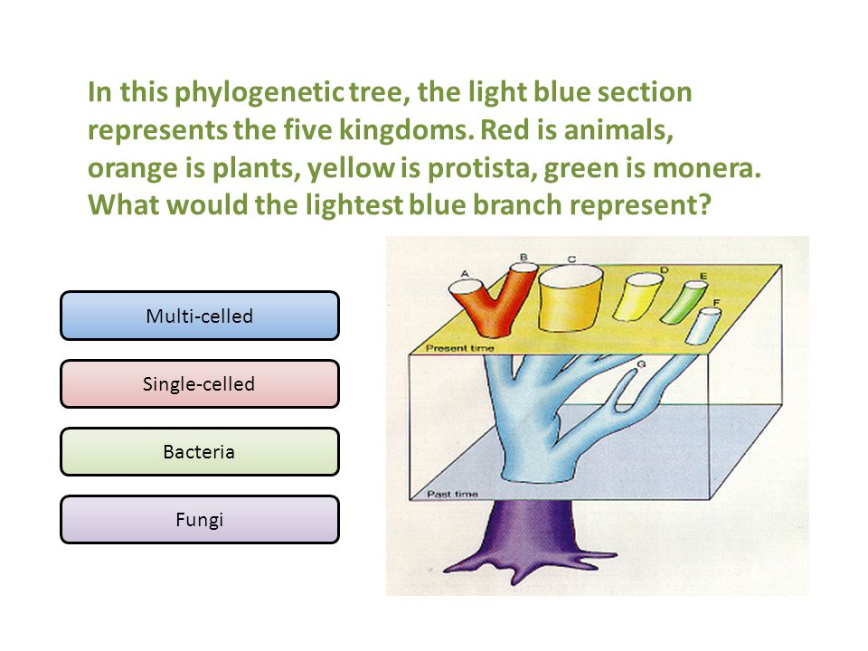 Multi-celled Single-celled Bacteria Fungi In this phylogenetic tree, the light blue section represents the five kingdoms. Red is animals, orange is pl