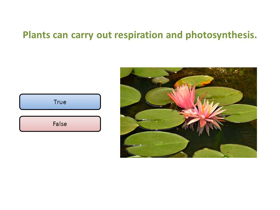 Plants can carry out respiration and photosynthesis. True False