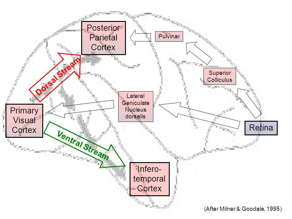 Infero- temporal Cortex Primary Visual Cortex Retina Posterior Parietal Cortex Lateral Geniculate Nucleus dorsalis Ventral Stream Dorsal Stream Superior Colliculus Pulvinar (After Milner & Goodale, 1995)