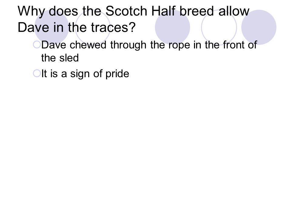 Why does the Scotch Half breed allow Dave in the traces.