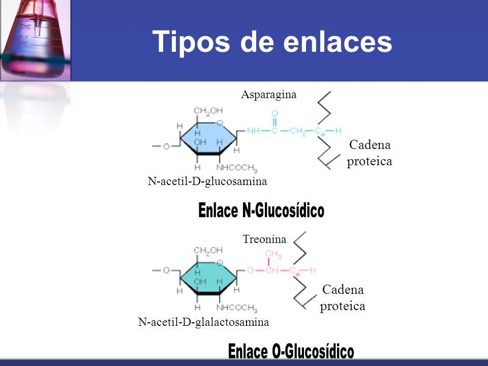 Tipos de enlaces Cadena proteica N-acetil-D-glucosamina Asparagina N-acetil-D-glalactosamina Treonina