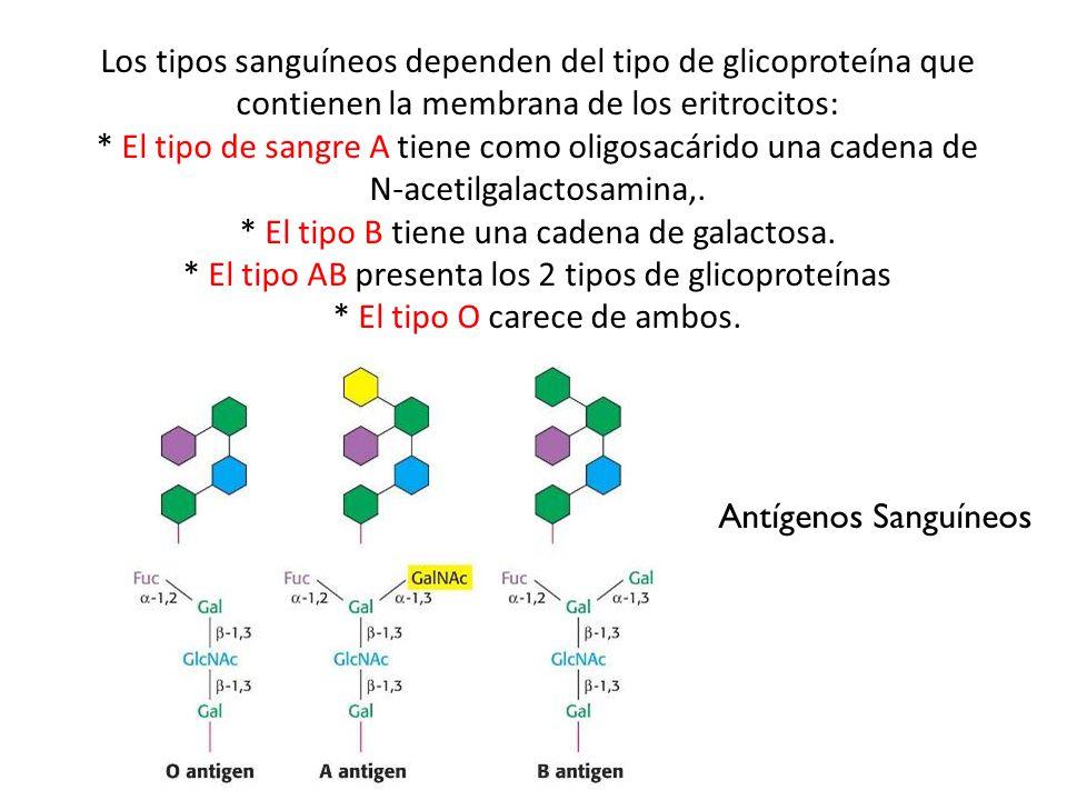 Antígenos Sanguíneos Los tipos sanguíneos dependen del tipo de glicoproteína que contienen la membrana de los eritrocitos: * El tipo de sangre A tiene