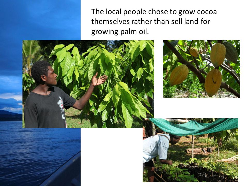 The local people chose to grow cocoa themselves rather than sell land for growing palm oil.