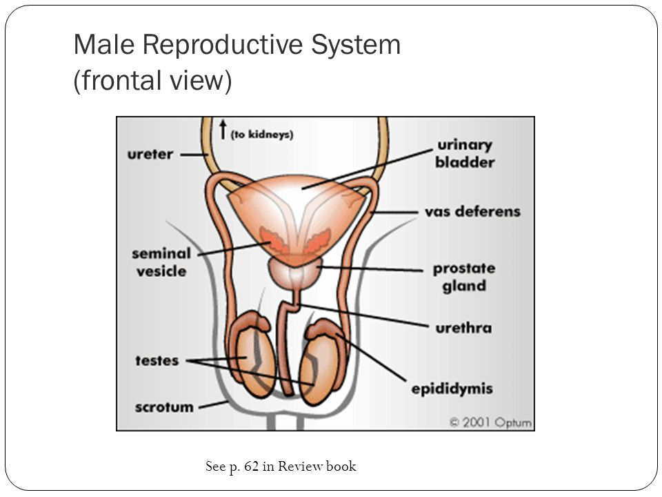 Male Reproductive System (frontal view) See p. 62 in Review book
