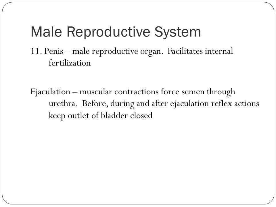 Male Reproductive System 11. Penis – male reproductive organ. Facilitates internal fertilization Ejaculation – muscular contractions force semen throu