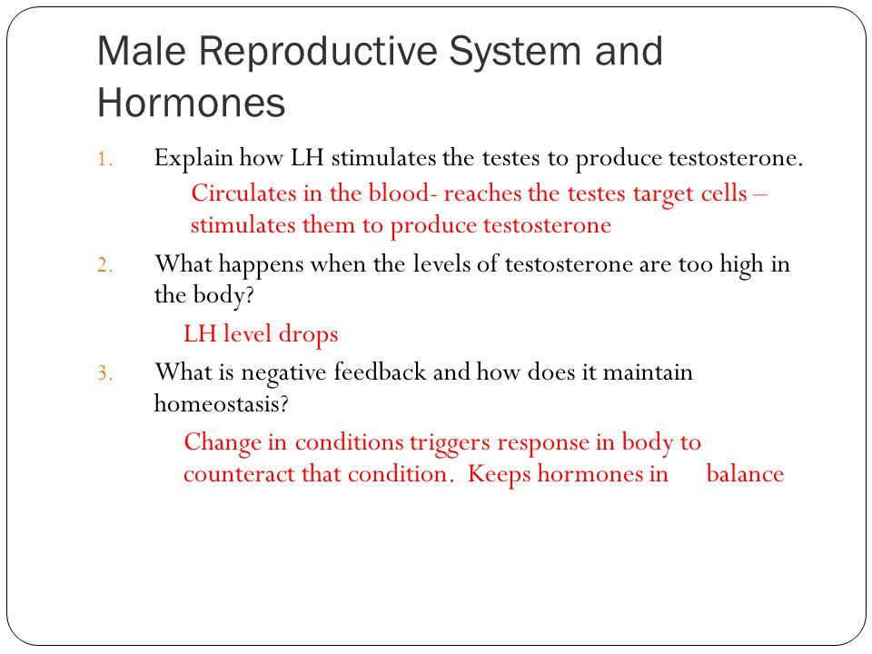 Male Reproductive System and Hormones 1. Explain how LH stimulates the testes to produce testosterone. Circulates in the blood- reaches the testes tar