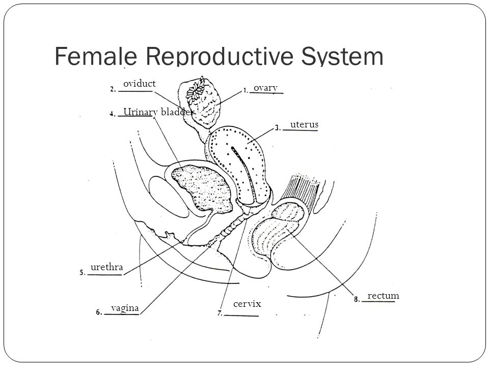Female Reproductive System ovary uterus rectum cervix vagina urethra Urinary bladder oviduct