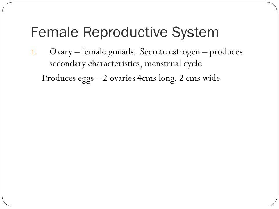 Female Reproductive System 1. Ovary – female gonads. Secrete estrogen – produces secondary characteristics, menstrual cycle Produces eggs – 2 ovaries