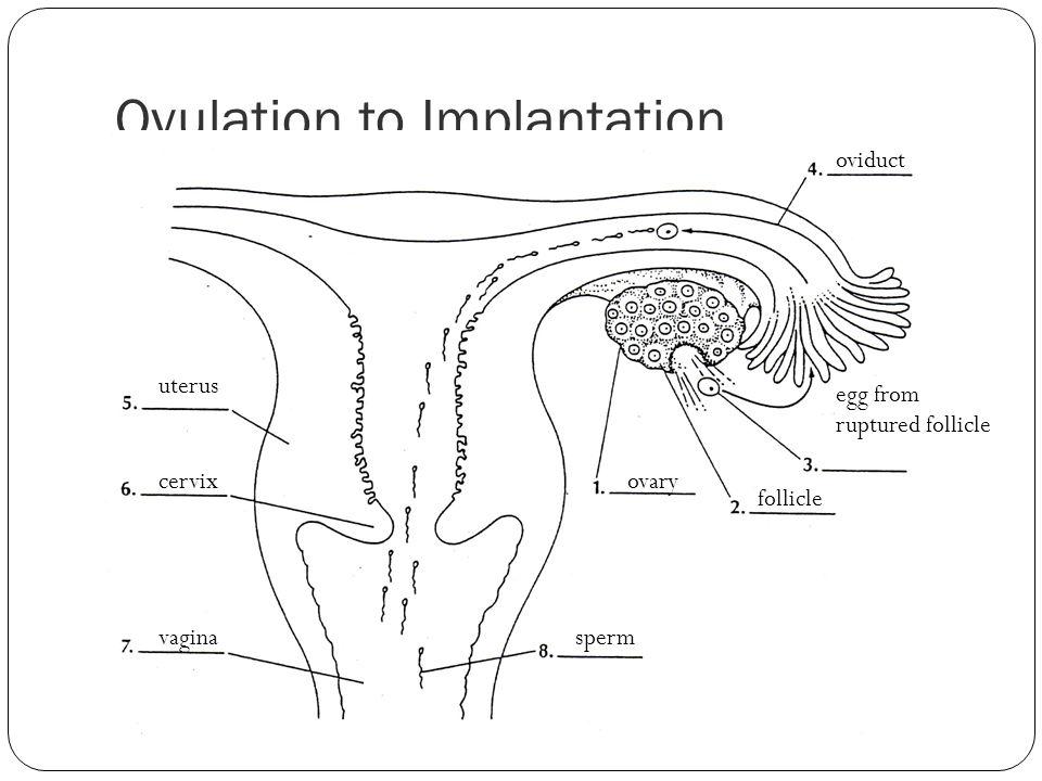 Ovulation to Implantation ovary follicle egg from ruptured follicle oviduct uterus cervix vaginasperm