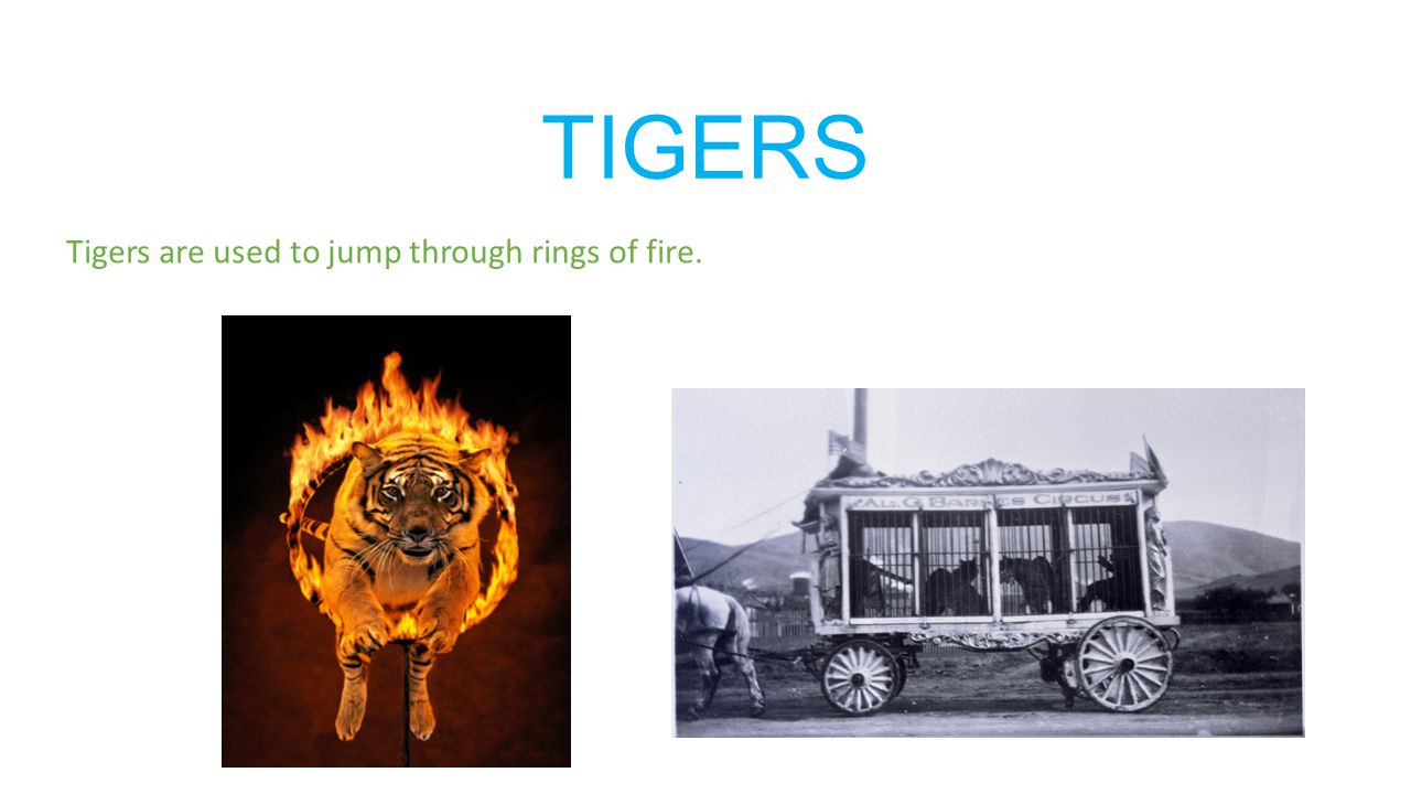 TIGERS Tigers are used to jump through rings of fire.