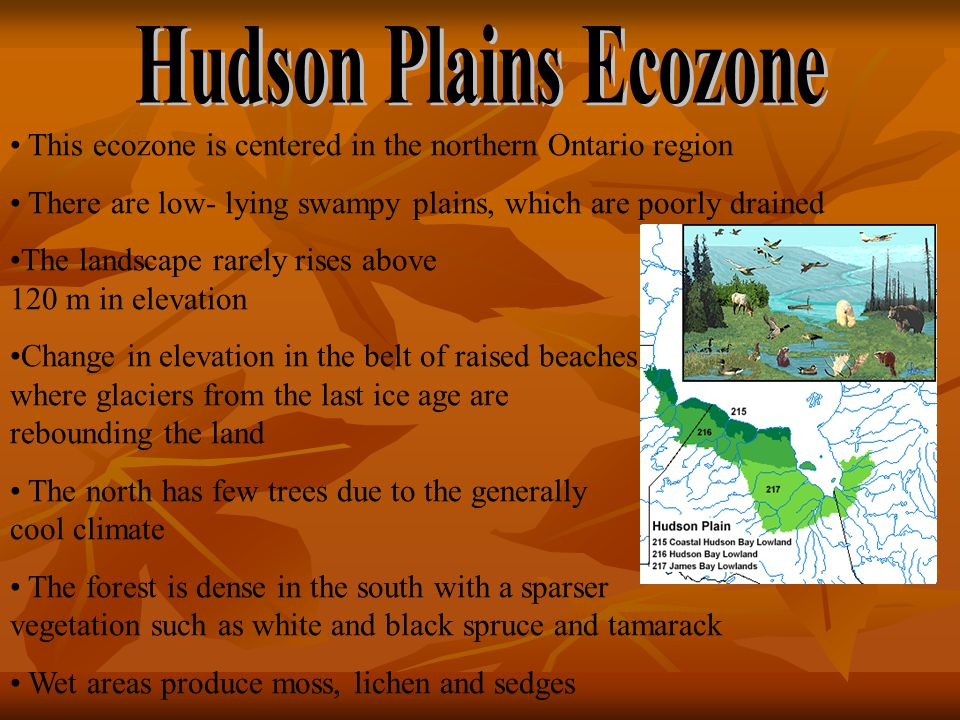 This ecozone is centered in the northern Ontario region There are low- lying swampy plains, which are poorly drained The landscape rarely rises above 120 m in elevation Change in elevation in the belt of raised beaches where glaciers from the last ice age are rebounding the land The north has few trees due to the generally cool climate The forest is dense in the south with a sparser vegetation such as white and black spruce and tamarack Wet areas produce moss, lichen and sedges